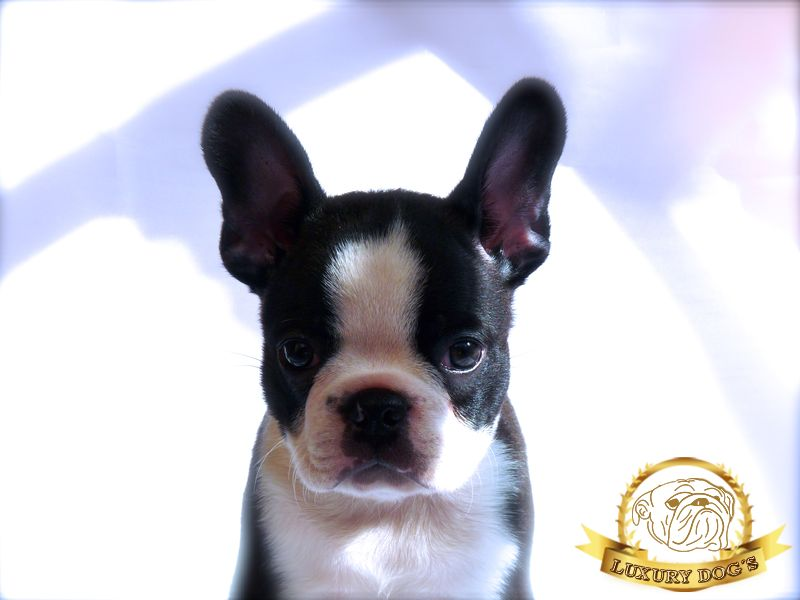 cachorros boston terrier luxury dog s. Black Bedroom Furniture Sets. Home Design Ideas
